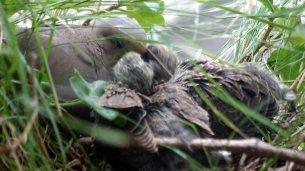 Mother feeding the chicks