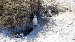 Several penguins together