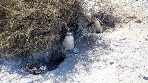 Several penguins together
