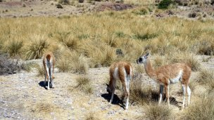 Guanacos grazing among the penguins